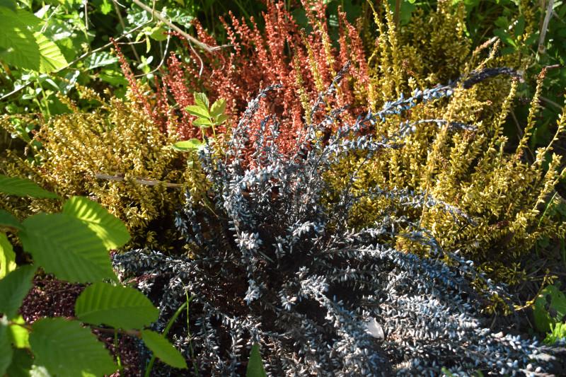 Heidekraut im Garten
