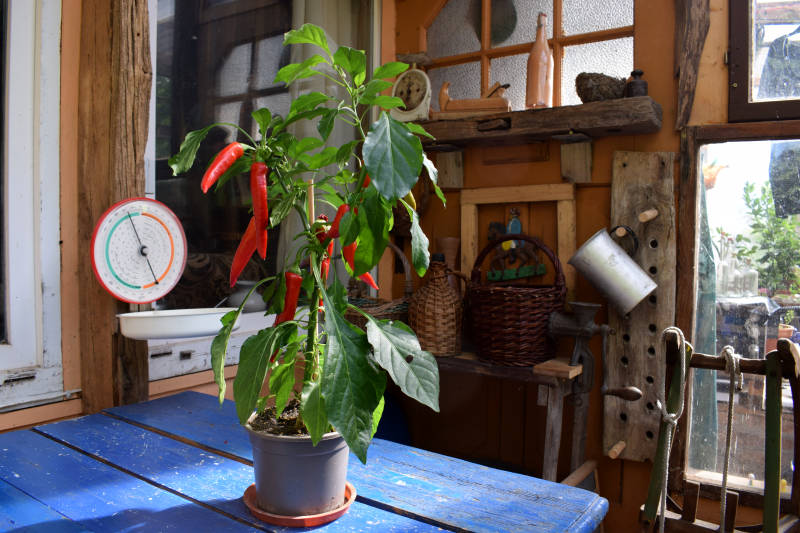 Chilipflanze entstehen schwarze Flecken