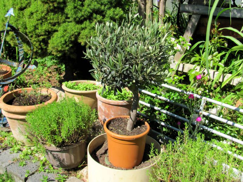 Olivenbaum im Garten