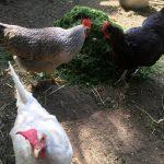 Brauchen Hühner Legemehl
