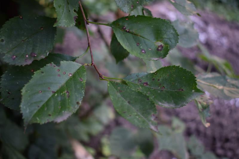Mandelbaum hat Löcher