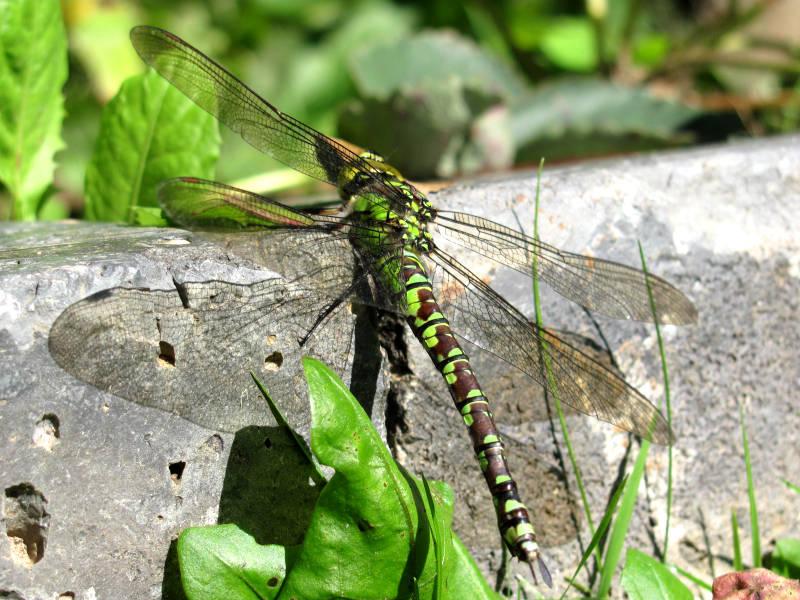 Libellen im Garten